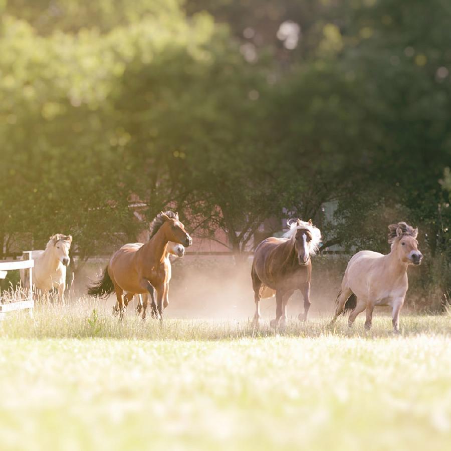 Pferde galoppieren auf einer Weide